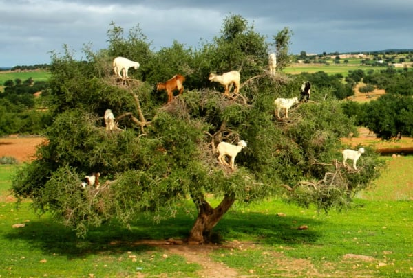 goats climbing tree in morocco