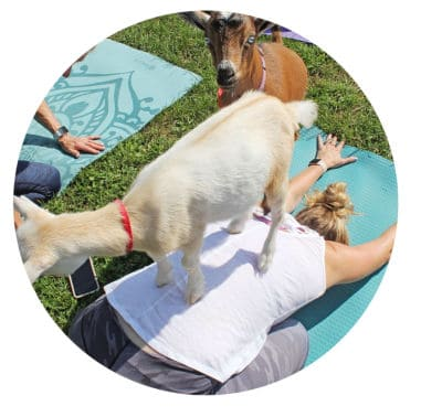 goat yoga childs pose
