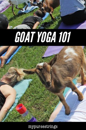 goat standing on back in yoga class